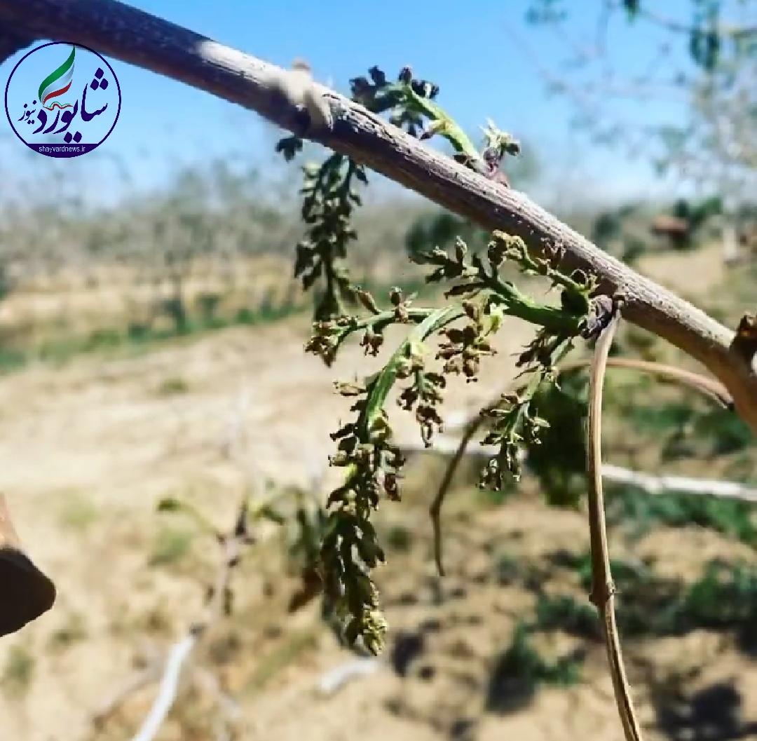 در مناطقی از رفسنجان سرمازدگی به محصول پسته ۱۵ تا ۱۰۰ درصد خسارت وارد کرده است