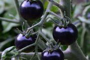کشت گوجه فرنگی سیاه در شهر طلای سبز