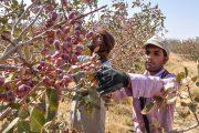 برداشت ۲۵ هزارتن پسته در رفسنجان/ساماندهی کارگران فصلی در بحران کرونا