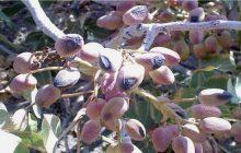 افزایش دما و گرمازدگی بهاره درختان پسته را تهدید می کند